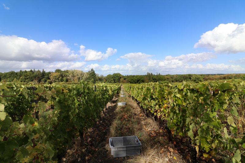 vignoble vigne aoc touraine azay le rideau